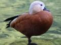 Canard au parc du chateau de Vizille