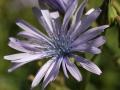 Fleur au Jardin botanique du col du Lautaret1