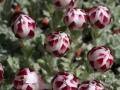 Fleurs au Jardin botanique du col du Lautaret